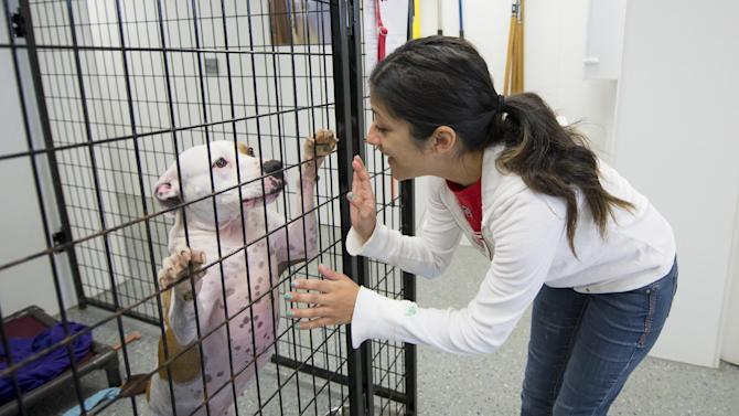 Volunteer Tiffany Quintanilla plays with a pit bull mix named Molly, Monday, July 27, 2015 in Detroit. Detroit Dog Rescue, initially formed in 2011 as a foster-based operation, has now secured a permit from the state sanctioning the operation. (David Guralnick/Detroit News via AP)  DETROIT FREE PRESS OUT; HUFFINGTON POST OUT; MANDATORY CREDIT