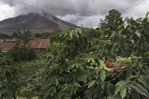 A farmer picks coffee berries at his family-owned plantation…