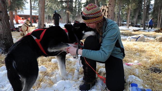 Angie Taggart tends to Carmack at the Rohn checkpoint in Alaska during the Iditarod Trail Sled Dog Race on Tuesday, March 5, 2013. (AP Photo/The Anchorage Daily News, Bill Roth)