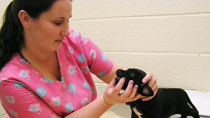 This Jan. 3, 2013 publicity photo provided by the Humane Society of Vero Beach and Indian River County shows veterinary technician Aubrey Mallory checking the teeth of a six-week-old male pit bull mix named Kobe, in Vero Beach, Fla. Regular exams help spot bad breath, an early warning sign of pet dental disease.  (AP Photo/Humane Society of Vero Beach and Indian River County, Janet Winikoff)