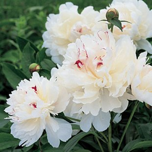 'Festiva Maxima' Herbaceous peony