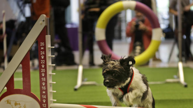 Westminster dog show adds event with mixed breeds