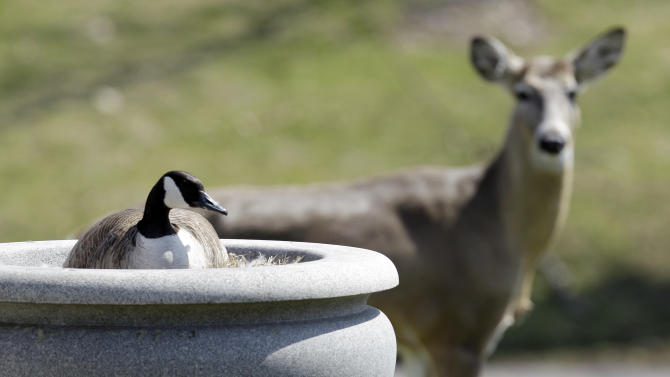 A deer watches over a goose nesting in an urn in a cemetery in Buffalo, N.Y., Thursday, April 7, 2011. (AP Photo/David Duprey)