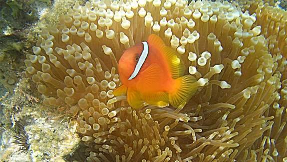 Clownfish Talk Their Way Out of Conflict