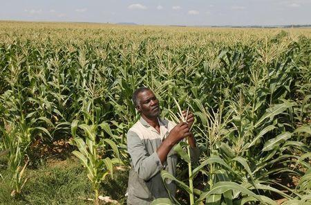 Mthimkhulu inspects his crop at his farm in Senekal