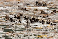 Sea otters convene in a kelp bed near Kodiak Island, Alaska.