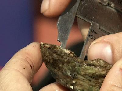 Oysters helping to clean New York's waterways