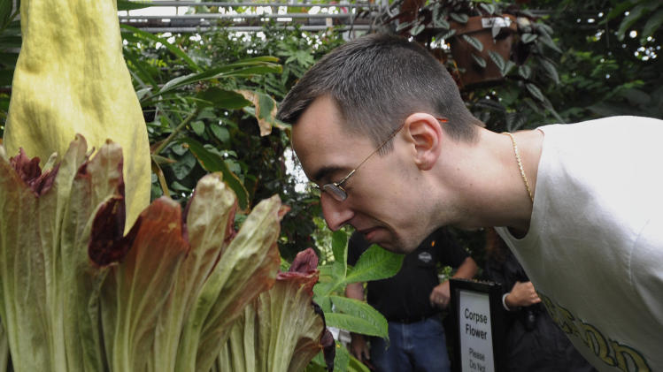 "Dan Hagen of Berlin, Conn., smells the University of Connecticut's rare ""corpse flower"", the bud of the exotic Sumatran plant, the Titan Arum, in Storrs, Conn., Friday, June 17, 2011.  The plant has bloomed only twice since the seed was planted in 1994, and previous blooms in 2004 and 2007 drew scores of visitors. (AP Photo/Jessica Hill)"