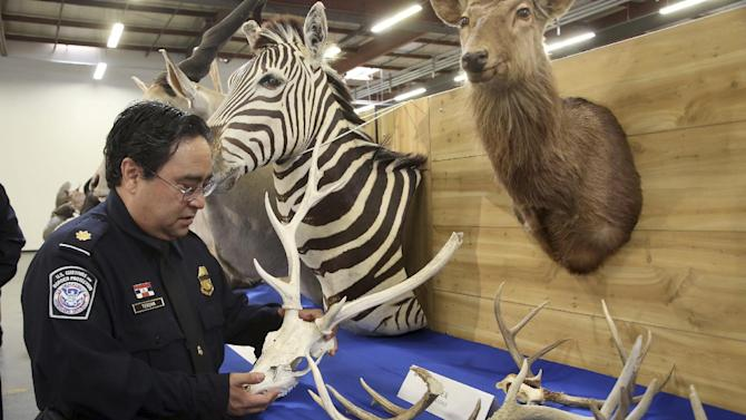 """Officer Owen Teruya, U.S. Customs and Border Protection holds deer antlers in Carson, Calif., Wednesday, Aug. 6, 2014. U.S. Customs and Border Protection announced and displayed the taxidermy take with an estimated value of nearly $9,000 on Wednesday. They were seized last month at a port inspection when officers found seven boxes with """"animal heads"""" written on them. (AP Photo/ Nick Ut )"""