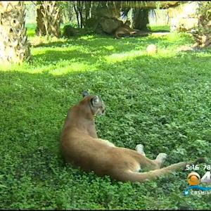 Endangered Florida Panther Shot & Killed
