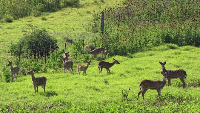 FILE - This April 12, 2012 file photo provided by Forest and Kim Starr shows axis deer in upcountry Maui near Makawao, Hawaii. A helicopter pilot is pleading guilty to illegally flying deer from Maui to the Big Island, shedding light on a mystery that has been bewildering Hawaii: how did axis deer, an animal that can't swim across the ocean, get to another island? (AP Photo/Forest and Kim Starr, File)