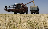 UK Wheat Harvest 'To Drop 15%', Claims NFU