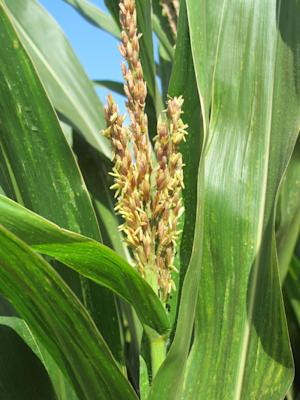 In this April 16, 2014 photo, a tassel of corn grows …