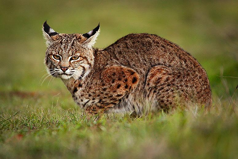 Feeding Russia's and China's Fur Fixation, American Trappers Make a Killing with Bobcat Pelts