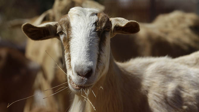 Here, only goats can prevent airport fires