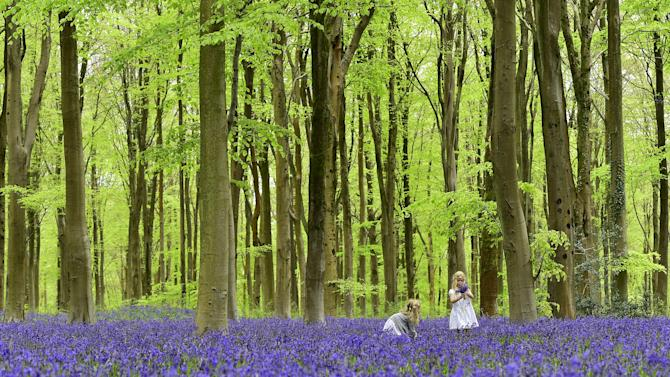 Walkers visit forest floor and woodland covered in bluebells near Marlborough in southern England