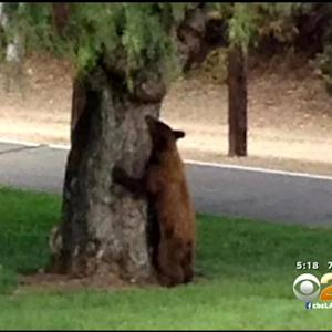 Bear Family Wander Through Duarte