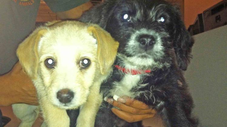 Pets of the Week: 8-week-old Labrador mixes