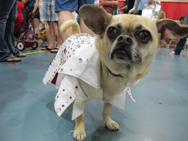 In this May 19, 2013, photo King, who is a chihuahua-pug mix, poses in his Elvis costume at Milwaukee Pug Fest in Franklin, Wis. The annual event, that helps pay for medical and dental bills for rescu