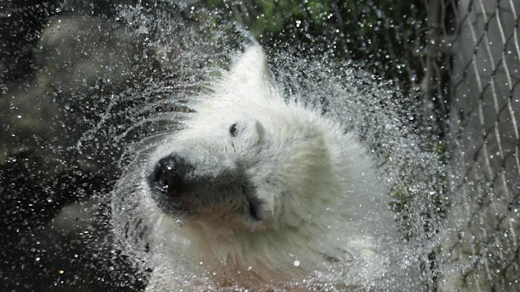 Luna, a resident polar bear cub, dries off during a news conference at the Buffalo Zoo in Buffalo, N.Y., Wednesday, May 15, 2013. Luna will be the playmate for Kali, an orphaned polar bear cub from Alaska, until a permanent home is located for Kali. (AP Photo/David Duprey)