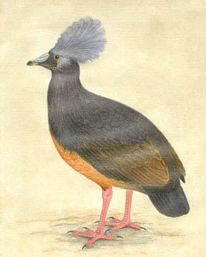 Choiseul Crested Pigeon