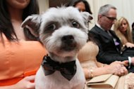 Wearing a bow tie for the occasion, Blue Joie is held by his owner Ingrid Robinson of New York, as they and others wait for the start of the most expensive wedding for pets Thursday July 12, 2012 in New York. The black-tie fundraiser, where two dogs were &quot;married&quot;, was held to benefit the Humane Society of New York. (AP Photo/Tina Fineberg)