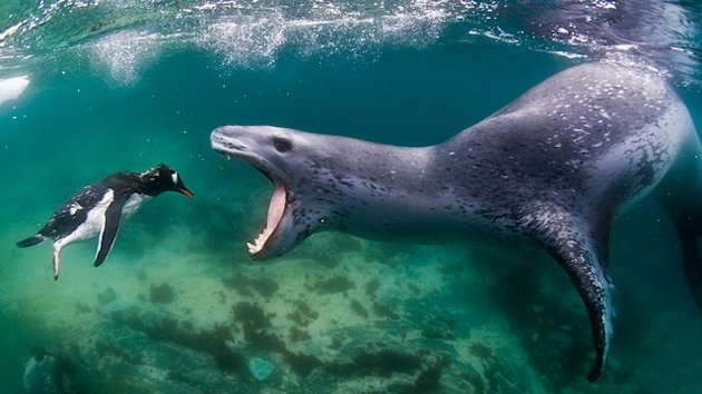 Photo Captures Penguin Swimming Into &#39;Jaws of Death&#39; (ABC News)