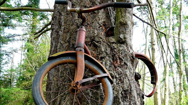 Lost Bicycle Swallowed by Wash. Tree (ABC News)