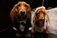 Dachshunds dressed for the occasion, Clifford, left, and his cousin Dee Dee, wait to take part in the most expensive wedding for pets Thursday July 12, 2012 in New York. The black-tie fundraiser, where two dogs were &quot;married&quot;, was held to benefit the Humane Society of New York. (AP Photo/Tina Fineberg)