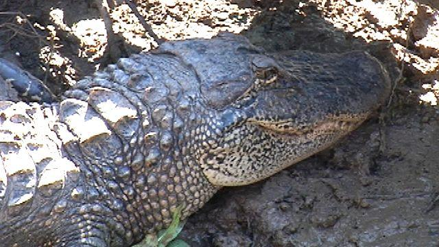 Alligator hunting gone wild, thanks to reality TV shows