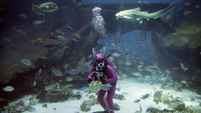 A diver dressed as the Easter Bunny swims among sharks, rays and other species of fish in the Shipwreck habitat, Thursday, April 17, 2014 at the South East Asia Aquarium of Resorts World Sentosa, a popular tourist attraction in Singapore. The performance is part of the Easter celebrations.(AP Photo/Wong Maye-E)