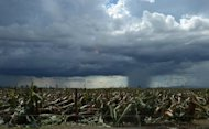 A rain cloud hangs over a flattened banana plantation in Compostela Valley province, in the aftermath of Typhoon Bopha, on December 8, 2012. A tropical storm set to hit the Philippines on Christmas Day could spark floods and landslides, forecasters warned, even as the country struggles to recover from a typhoon that killed hundreds