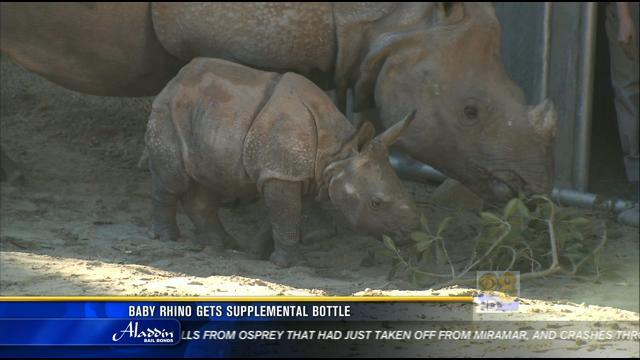 Baby rhino at Safari Park getting supplemental bottle