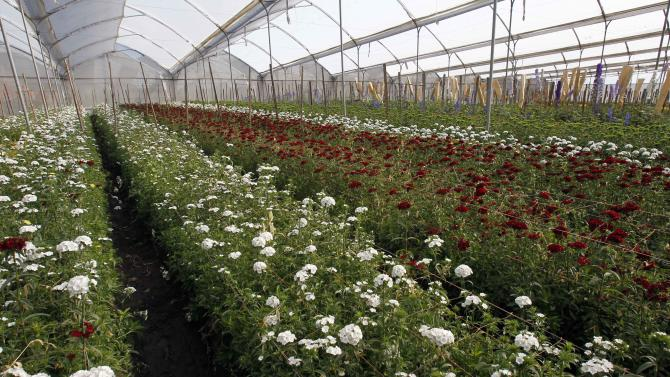 Flowers grow in a greenhouse on the Valleflor flower farm in Pifo, Ecuador, Saturday, June 29, 2013. A week after National Security Agency leaker Edward Snowden began his flight across the globe, every passing day without him making progress toward Ecuadorean asylum makes the prospect look less likely. But the men who grow roses, asters and delphinia in the thin air of Ecuador's sun soaked highlands are deeply concerned that, whatever happens to Snowden, they may turn out to be the most unlikely collateral damage from the geopolitical wrangle over his fate. (AP Photo/Dolores Ochoa)