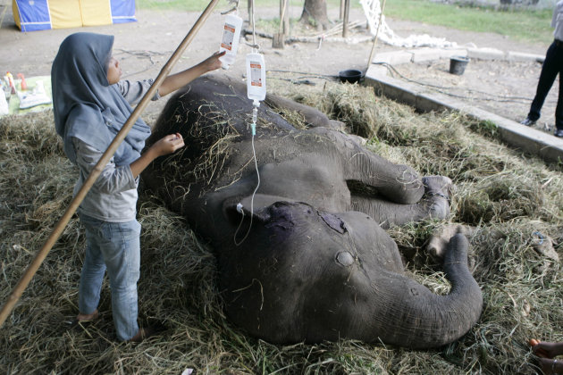 A veterinarian performs intravenous infusion on Fitri, a 35-year-old Sumatran elephant, at Surabaya Zoo in Surabaya, East Java, Indonesia, Tuesday, July 26, 2011. Fitri has been treated for six days a