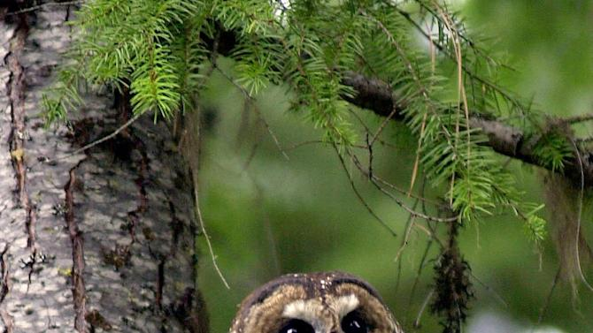 File--In this May 8, 2003, file photo, a northern spotted owl named Obsidian by U.S. Forest Service employees sits in a tree in the Deschutes National Forest near Camp Sherman, Ore.  The Obama Administration's overhaul of the strategy for saving northern spotted owls has been completed, and it nearly doubles the amount of forest designated as habitat critical to the owl's survival four years ago by the Bush administration.(AP Photo/Don Ryan, file)