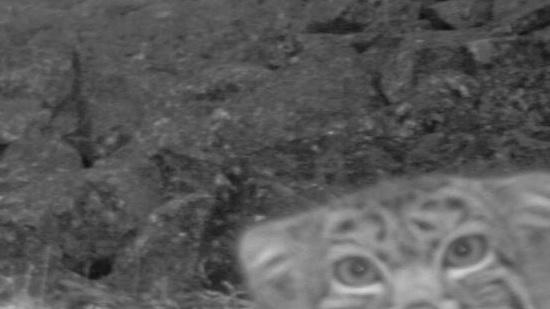 Sneaky Cat Caught on Camera in Himalayas