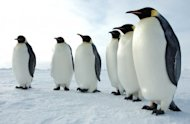 How to Recover From the Ravages of Google Penguin and Panda image Six Emperor Penguins 300x196