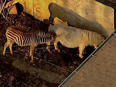 Raw: Zebra, horse corralled after escaping