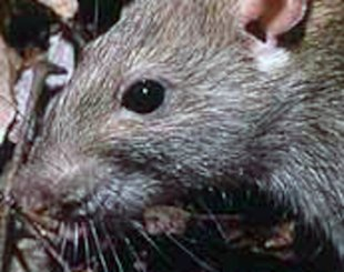 Rodent hairs are legally allowed in your food