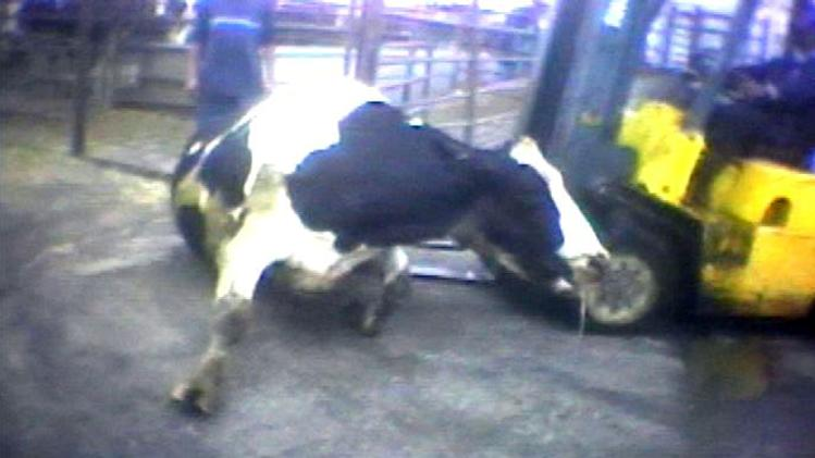 "FILE - In this April 22, 2010 image from video provided by the United States Humane Society, a Hallmark Meat Packing slaughter plant worker is shown attempting to force a ""downed"" cow onto its feet by ramming it with the blades of a forklift in Chino, Calif. State legislators across the country are introducing laws making it harder for animal welfare advocates to investigate cruelty and food safety cases. Bills pending in California, Nebraska and Tennessee require that anyone collecting evidence of abuse turn it over to law enforcement within 24 to 48 hours - which advocates say does not allow enough time to document illegal activity under federal humane handling and food safety laws. Critics say the bills are an effort to deny consumers the ability to know how their food is produced. (AP Photo/Humane Society of the United States, file)"