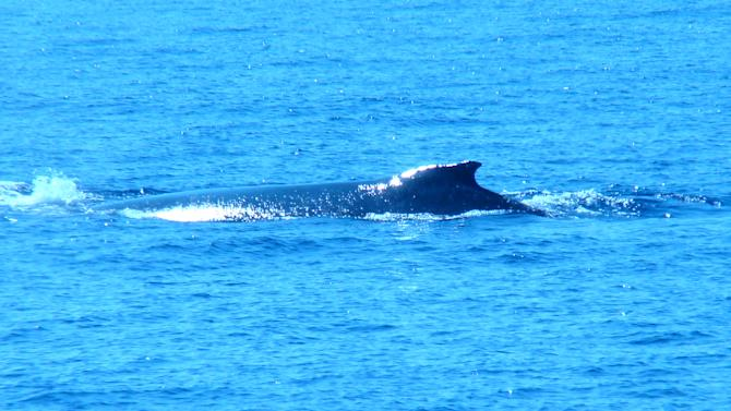 FILE - This Jan. 1, 2012 file photo shows a humpback whale in the Pacific Ocean off the coast of Kahului, Maui, Hawaii. Tourists by the thousands load tour boats each winter to view the whales as they migrate through the area. (AP Photo/Joe Kafka, File)