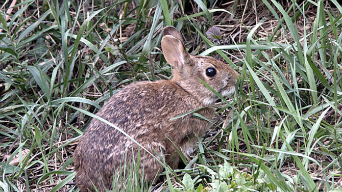 This undated photo provided by U.S. Fish and Wildlife Service shows a New England cottontail rabbit. Wildlife officials say the New England cottontail could soon face extinction, due to diminishing shrublands across the Northeast. The only rabbit species indigenous to the region lost more than 80 percent of its habitat over the last 50 years. The U.S. Fish and Wildlife Service has partnered with state agencies and private organizations from Maine to New York to restore its natural habitat and save an animal that is a candidate for protection under the Endangered Species Act. (AP Photo/U.S. Fish and Wildlife Service, Linda Cullivan)