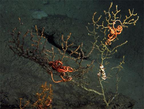 This undated photo provided by the Lophelia II 2010 research group, shows coral, several miles from the site of the blown-out BP well in the Gulf of Mexico, apparently covered with brown material. For the first time, federal scientists say they have found damage to deep sea coral and other marine life from the the Deepwater Horizon rig, but tests are needed to verify that the coral died from oil from released in the disaster. (AP Photo/Lophelia II 2010, NOAA, OER and BOEMRE) NO SALES