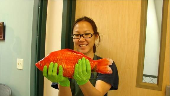 Monster Goldfish Found in Lake Tahoe