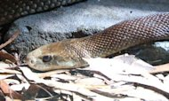 Snake Bite: Deadly Taipan Kills Australian