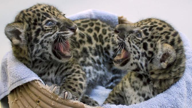 This Dec. 16, 2012 photo shows two baby jaguar cubs born at the Milwaukee County Zoo in November. Jaguars are an endangered species.  Stacy Johnson, coordinator of the jaguar species survival plan for the American Zoo and Aquarium Association, said heir birth is a big deal because their father was born in the wild and brings new genes to zoos. (AP Photo/Milwaukee County Zoo)