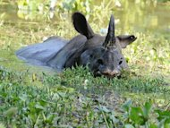 An endangered one horned rhinoceros swims through flood waters at the Kaziranga National Park about 250 kilometers east of Guwahati. Suspected poachers Wednesday killed a one-horned rhino in a flood-hit wildlife park, taking to 14 the number of the beasts slaughtered this year in the remote Indian region, officials said
