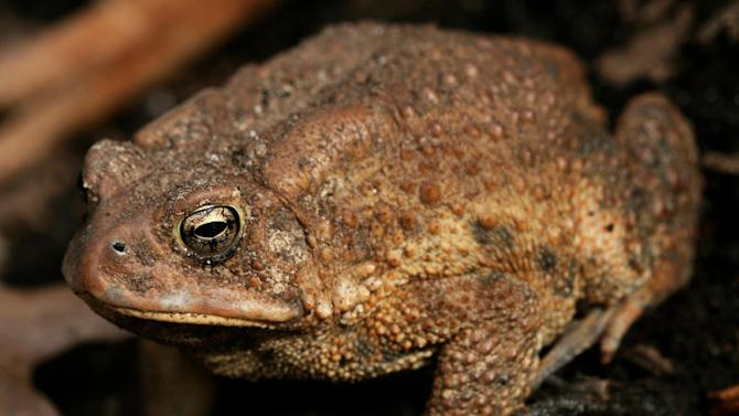 This March 7, 2009 photo shows a toad in a residential garden in New Market, Va. Toads, turtles, moths, moles, dragonflies, snakes and spiders are among the many wild things that can help maintain a landscape yet most go unappreciated or ignored despite their ability to kill insects, condition soil and pollinate plants. Harmful insects make up more than 60 percent of a toad's daily diet. (AP Photo/Dean Fosdick)