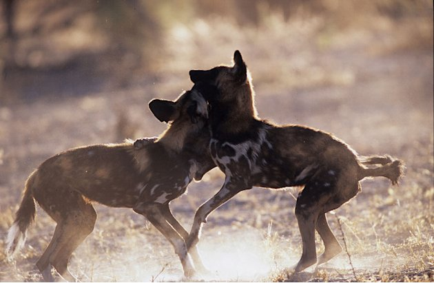 Wild dogs in the Okavango, as seen on the 'Pole to Pole' episode of Planet Earth.
